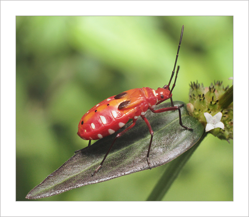 Nymph of Red Cotton Bug
