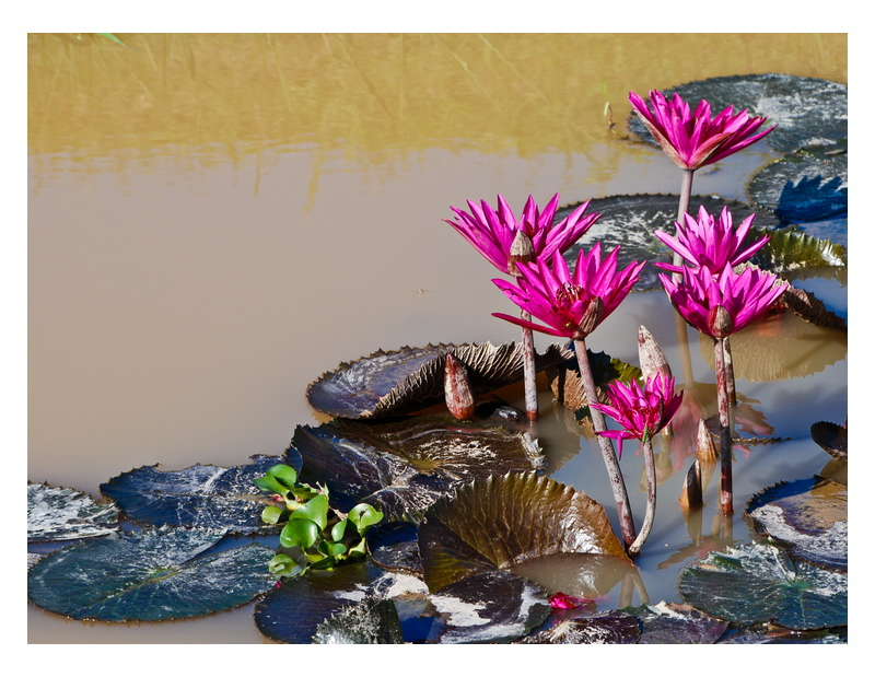 Star Lily and Water hyacinth