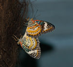 Title: ~ Malay Lacewing ~