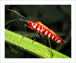 Title: Cotton Stainer