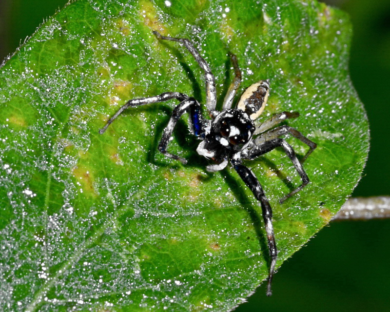 Jumping spider on pomelo