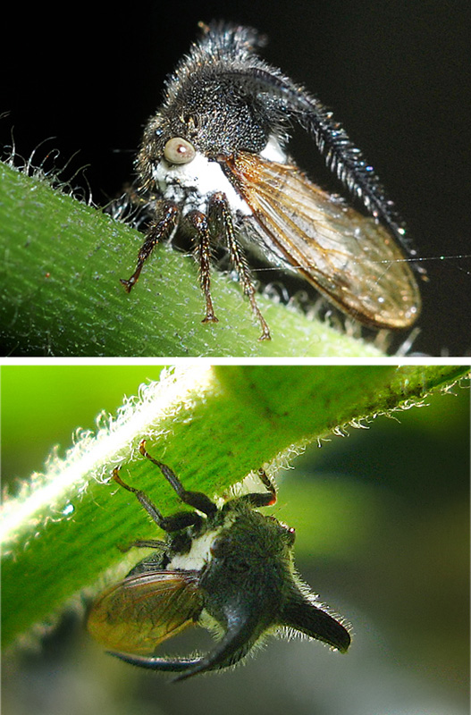 Treehoppers