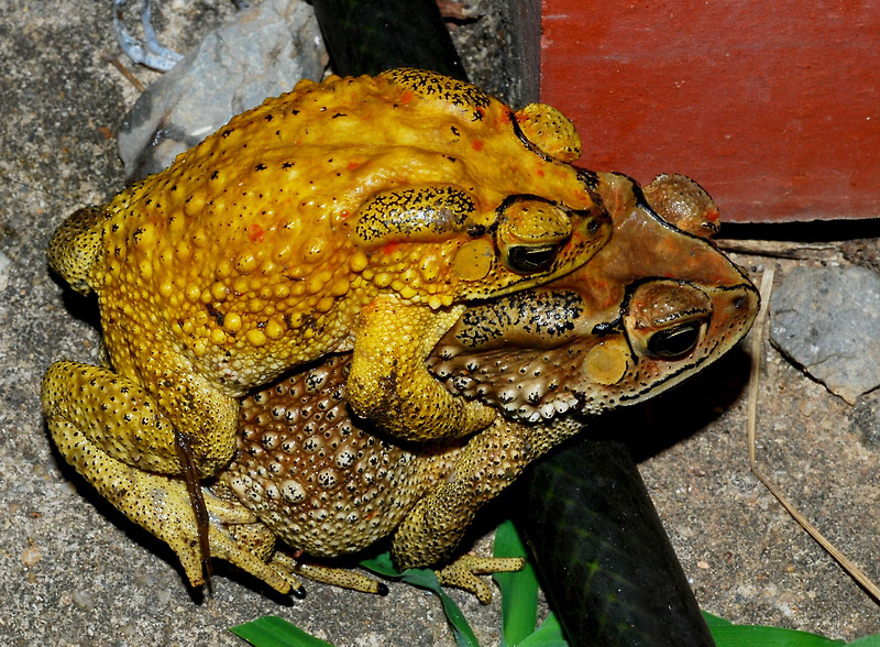Bufonidae - common toads