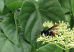 Title: Wasp on Ivy