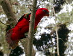 Title: ~ Chattering Lory ~