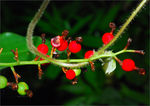 Title: Wild red berries