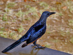 Title: Red-winged Starling