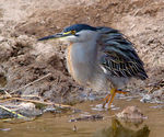 Title: Green-backed Heron