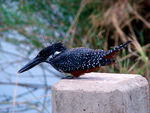 Title: Giant Kingfisher