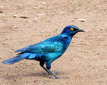 Title: The Cape Glossy Starling