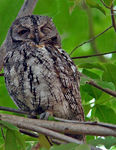 Title: African Scops Owl