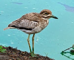 Title: Water Thick-knee