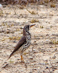 Title: Ground Scraper Thrush