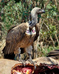 Title: White-Backed Vulture