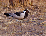 Title: Blacksmith Lapwing (Plover)
