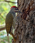 Title: Golden-tailed Woodpecker
