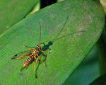 Title: Parasitic Wasp