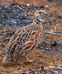 Title: Shelley's Francolin
