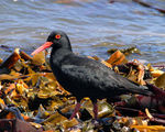 Title: African Black Oystercatcher
