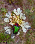 Title: Amethyst Fruit Chafer