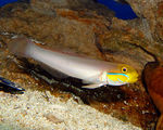 Title: Golden Head Sleeper Goby