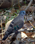 Title: Emerald-spotted Wood Dove