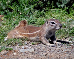 Title: Ground Squirrel