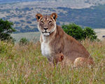 Title: Addo Lioness