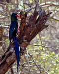 Title: Green Wood-hoopoe
