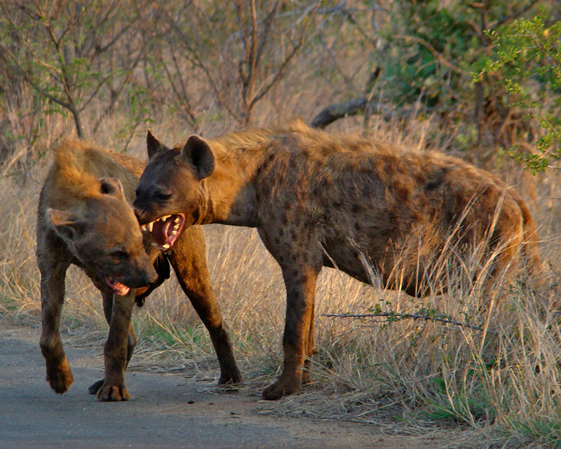 Hyena Interaction