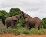Title: Elephants At Play