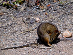 Title: Four-striped Grass Mouse