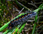 Title: Unidentified Caterpillar