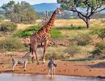 Title: Gathering at the waterhole