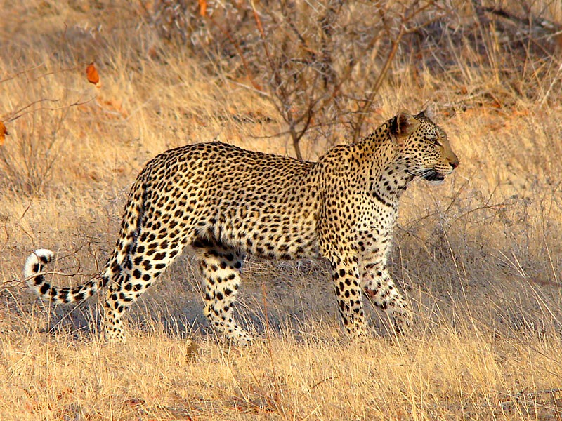 Leopard - #5 of the BIG 5