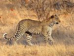 Title: Leopard - #5 of the BIG 5