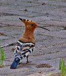 Title: Hoopoe for Martin