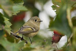 Title: Ruby-crowned Kinglet