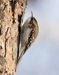 Title: Brown Creeper