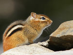 Title: First Chipmunk