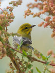 Title: Black-throated Green Warbler