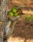 Title: Nutty Squirrel