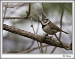 Title: Crested tit