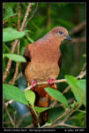 Title: Brown Cuckoo-DoveCanon EOS 400D (Rebel XTi)