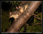 Title: Brushtail Possums