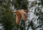 Title: Eastern Curlew