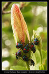 Title: Harlequin Bugs