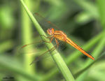 Title: Dragonfly - Common Percher