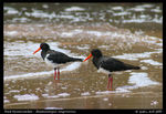 Title: Pied Oystercatchers