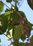Title: Olive-backed Sunbird and Nest